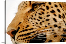 Close up of a leopard