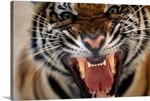 Close up of a snarling tiger (Panthera tigris)