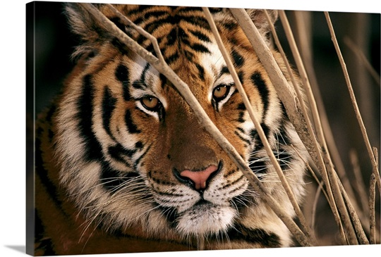 close up of a tiger s face carnivore preservation trust north