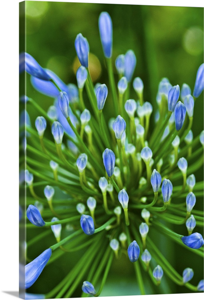 Close up of the inflorescence of an unopened blue flower