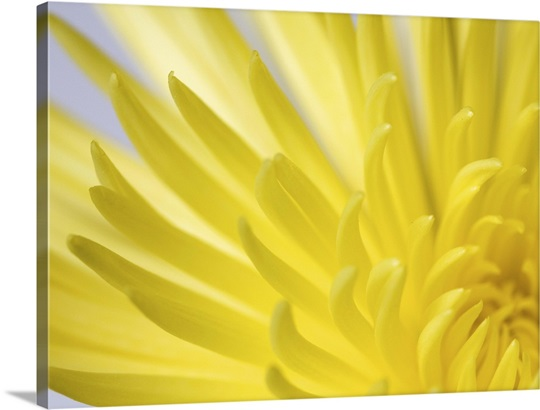 Close up of the petals of a yellow Chrysanthemum flower Wall Art ...