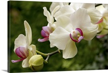 Close up of white and pink moth orchids, Phalaenopsis species