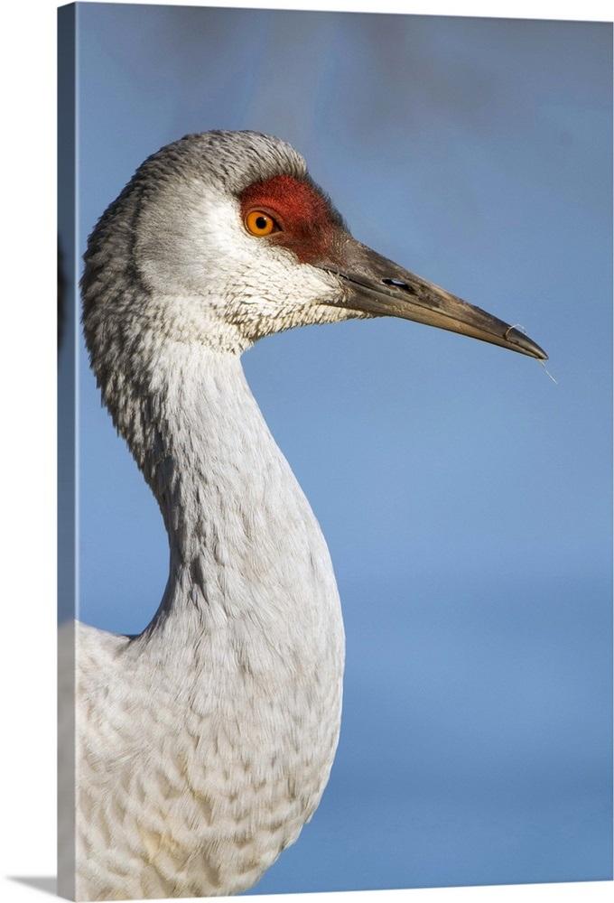 Sandhill Crane National Geographic >> Close Up Portrait Of A Sandhill Crane Wall Art Canvas Prints