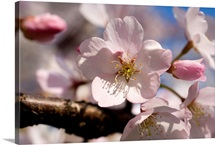 Close view of a pink cherry blossom bud and flower