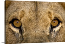 Close view of the eyes of an African lion, Panthera leo