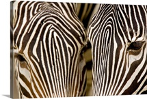 Closeup of two Grevys Zebras faces (Equus grevyi)