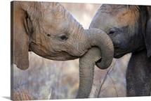 Elephant calves at play in Samburu National Park, Kenya