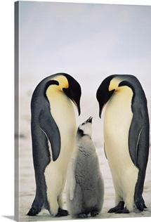 Emperor Penguin parents with chick, Antarctica
