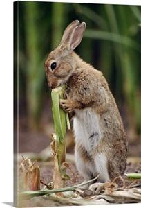 European Rabbit Feeding On Corn Stalk Germany Wall Art