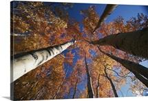 Fall aspen trees in Wrangell Saint Elias Park, Alaska