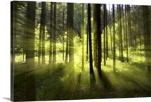 Forest light impression, Germany