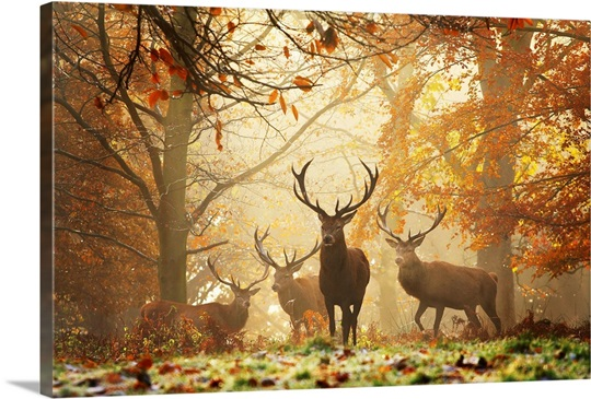 Four red deer, Cervus elaphus, in the forest in autumn Wall Art ...