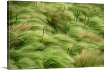 Foxtail barley and western wheatgrass stirred by a breeze