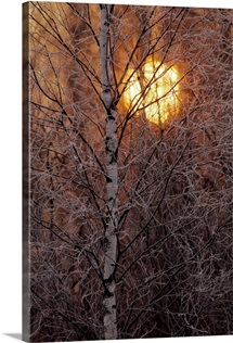 Frost-covered white birch trees with the sun rising behind
