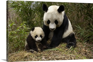 Giant Panda Adult And Baby In Bamboo Forest Wolong Nature
