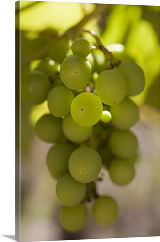 Grapes hanging on a vine in the sunlight Wall Art, Canvas Prints ...