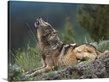 Gray Wolf howling, North America