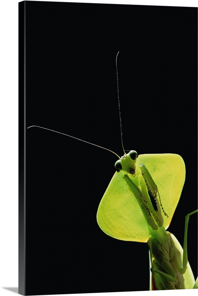 Hooded Leaf Mantis, Los Cedros River Valley, Ecuador Wall Art ...