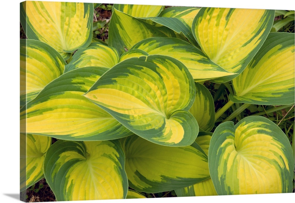 Hosta Plants With Decorative Yellow And Green Leaves Wall Art