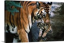 Indian tigress, Sita, moves her cubs to protect them from predators