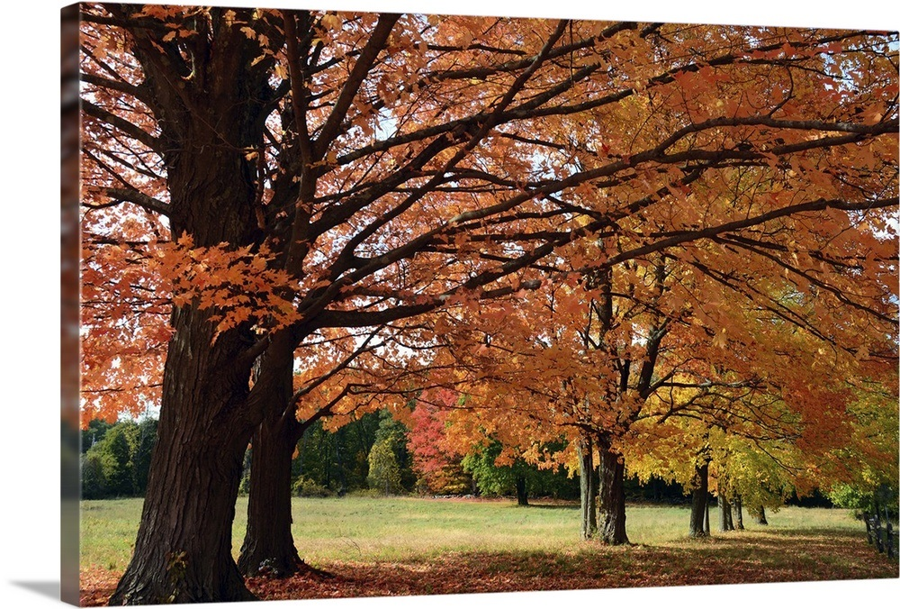 Large Sugar Maple Trees Acer Saccharum With Fall Foliage In