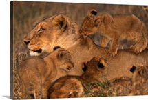 Lion cubs surround a patient lioness, nipping and playing, Londolozi Private Game Reserve, Republic of South Africa