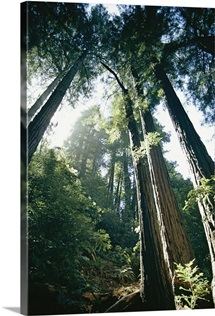 Looking up in Muir Woods, California
