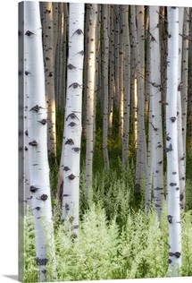 Lush plants in bloom at the base of aspen tree trunks