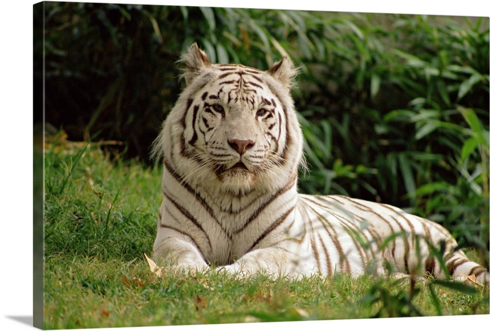 Melanistic White Bengal Tiger Wall Art  Canvas Prints