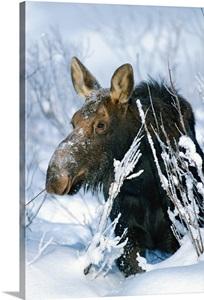 Moose In The Snow Idaho Wall Art Canvas Prints Framed Prints Wall Peels Great Big Canvas