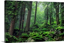 Moss covered rocks fill a misty wooded hillside