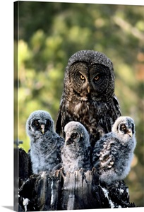 Mother Great Gray Owl And Her Three Babies Wall Art