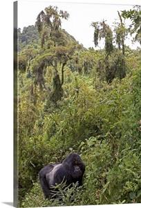 Mountain Gorilla Silverback In Dense Forest Habitat Parc