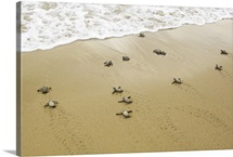 Newly hatched leatherback turtle's first approach to ocean surf