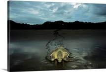 Pacific ridley turtle comes ashore at dusk to lay her eggs, Santa Rosa National Park, Costa Rica
