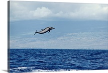 Pacific spotted dolphin in air, off the Kona Coast, Hawaii Island, Hawaii