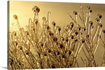 Plants encased in ice, Saint John's, Newfoundland
