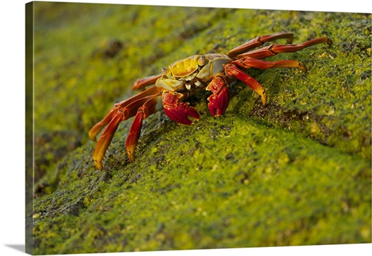 Portrait of a Sally Lightfoot crab on an algae covered rock Wall Art ...