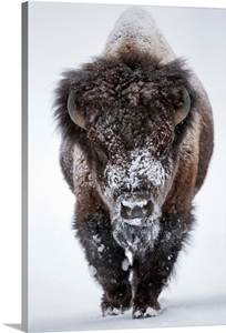 Portrait Of An Snow Dusted American Bison Wall Art Canvas