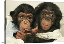 Portrait of two young laboratory chimps, Sterling Forest, New York
