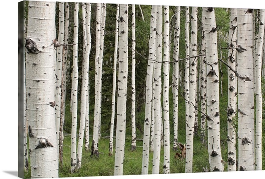 Quaking aspen tree trunks in a woodland Wall Art, Canvas Prints ...