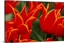 Queen of Sheba tulips, lily-flowering shape, Europe
