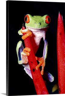 Red-eyed Tree Frog on rainforest, Costa Rica