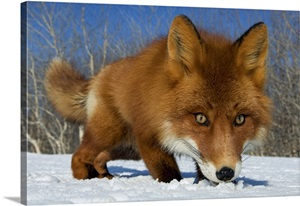 Red Fox Smelling Snow Kamchatka Russia Wall Art Canvas Prints Framed Prints Wall Peels