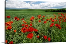 Red poppies edge a field near Moscow, Idaho