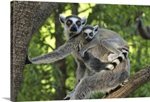Ring-tailed Lemur female and baby, Berenty Private Reserve, Madagascar