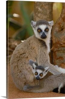 Ring tailed Lemur, Madagascar