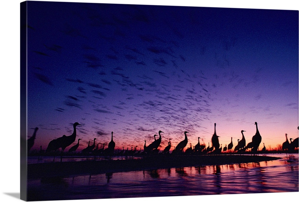 It Was Twilight And Sandhill Cranes >> Sandhill Cranes Silhouetted Against A Twilight Sky Nebraska Wall