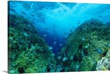 Sergeant major damselfish, British Virgin Islands