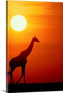 Silhouette of a giraffe at sunrise, Serengeti National Park, Tanzania